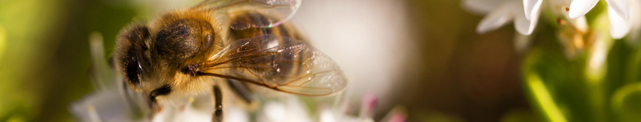 A Rocha_Banner_misc 12_bee on flower