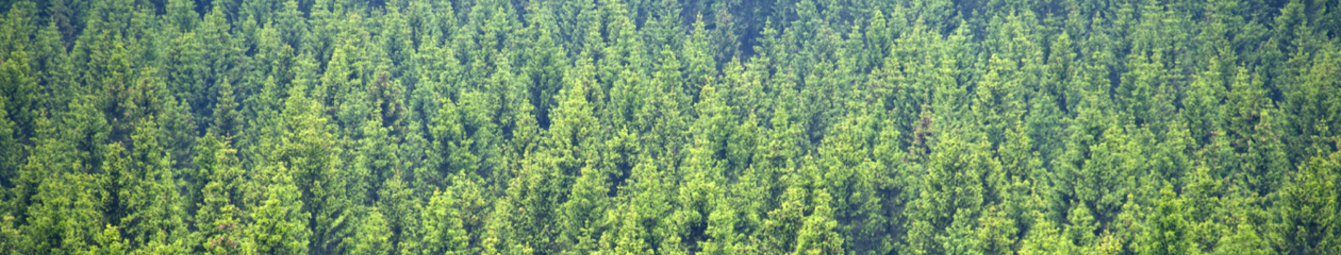 A Rocha_Banner_misc 2_pine forest